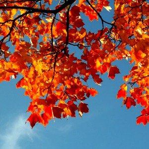 A maple tree offers praise.