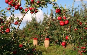 If Trees Could Talk-apple trees loaded with apples and two baskets full