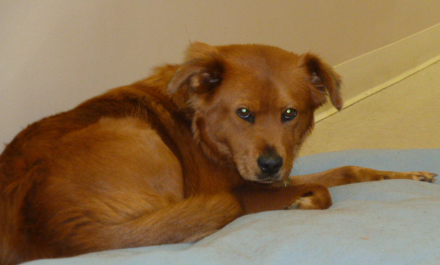 Lessons from a Dog Named Hope: Hope on her bed in the rehabilitation center Diana Derringer photo